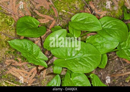 lords-and-ladies, portland arrowroot, cuckoopint (Arum maculatum), leaves, Germany - Stock Photo