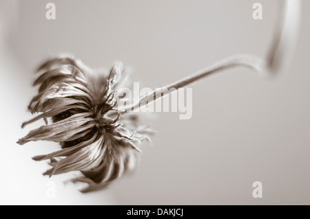 Monochrome close up of a dried up Gerbera flower - Stock Photo