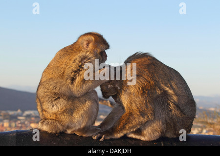 barbary ape, barbary macaque (Macaca sylvanus), sitting opposite and delousing each other, Gibraltar - Stock Photo