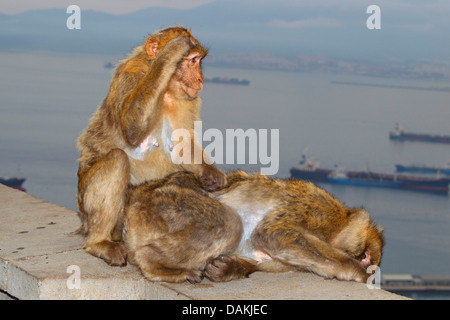 barbary ape, barbary macaque (Macaca sylvanus), sitting together on a wall and delousing each other, Gibraltar - Stock Photo