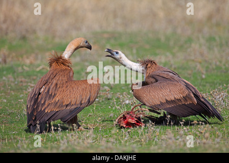 griffon vulture (Gyps fulvus), two young birds conflicting for feed, Spain, Extremadura - Stock Photo