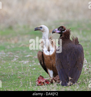 cinereous vulture (Aegypius monachus), with juvenile griffon vulture at cadaver, Spain, Extremadura - Stock Photo