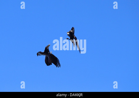 common raven (Corvus corax), flying, two ravens fighting for food, Canary Islands, La Palma - Stock Photo