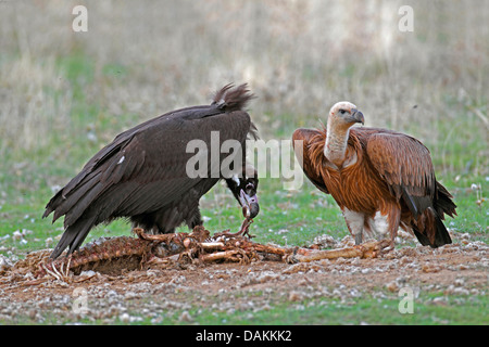 cinereous vulture (Aegypius monachus), cinereous vulture feeding on a dead sheep, griffon vulture is standing nearby, - Stock Photo