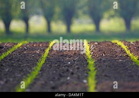 Indian corn, maize (Zea mays), seedlings on a maize field, Belgium - Stock Photo