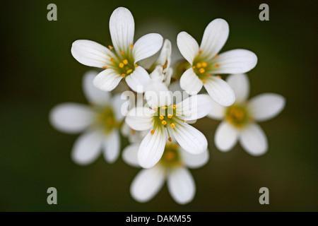 meadow saxifrage (Saxifraga granulata), flowers, Belgium, Limburg - Stock Photo