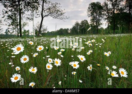 oxeye daisy, ox-eye daisy, white-weed, white daisy, dog daisy, marguerite (Chrysanthemum leucanthemum, Leucanthemum - Stock Photo