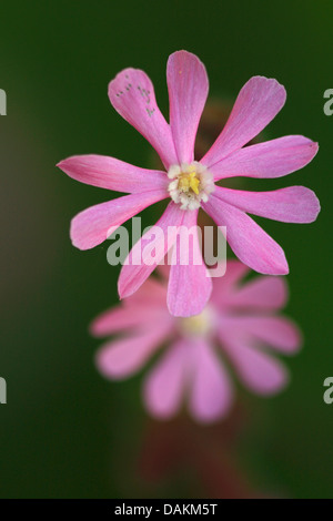 red campion (Silene dioica), flowers, Belgium - Stock Photo