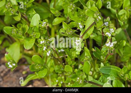 common cornsalad, lamb's lettuce, European cornsalad (Valerianella locusta), blooming cornsalad, Germany - Stock Photo