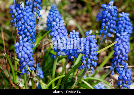 small grape hyacinth, common grape hyacinth (Muscari botryoides), blooming, Germany - Stock Photo