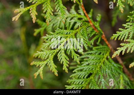 yellow cedar, eastern white cedar (Thuja occidentalis), branch - Stock Photo