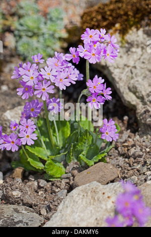 bird's-eye primrose (Primula farinosa), blooming, Germany - Stock Photo