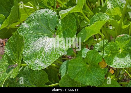holly hock, hollyhock (Alcea rosea, Althaea rosea), leaves - Stock Photo