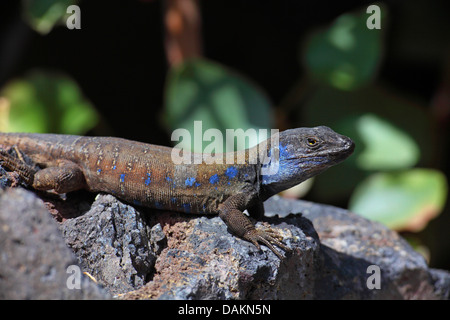 Canary Island Lizard (Gallotia galloti galloti), male lying on a stone in the sun, Canary Islands, La Palma, Puerto - Stock Photo