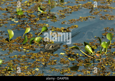 Paraguayan caiman (Caiman yacare, Caiman crocodilus yacare), lying in water, Brazil, Mato Grosso do Sul - Stock Photo
