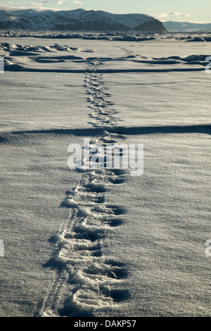 polar bear (Ursus maritimus), tracks of a polar bear in snow, Canada, Nunavut - Stock Photo