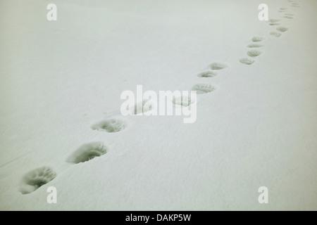 polar bear (Ursus maritimus), polar bear tracks in snow, Canada, Nunavut, Sirmilik National Park - Stock Photo