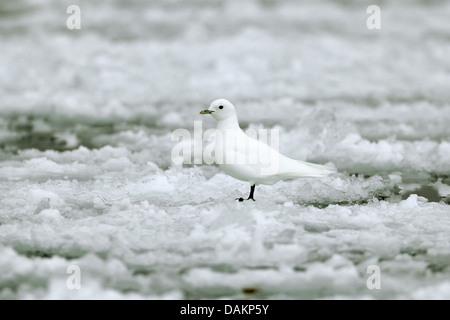 ivory gull (Pagophila eburnea), on drift ice, Canada, Nunavut, Sirmilik National Park - Stock Photo