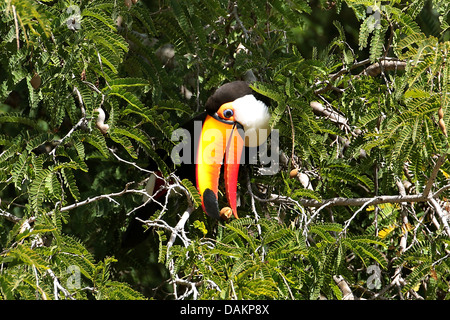 Toco toucan, Toucan, Common Toucan (Ramphastos toco), sitting in a tree with food in the bill, Brazil, Mato Grosso do Sul