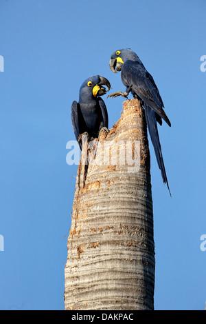Hyacinth Macaw, Hyacinthine Macaw (Anodorhynchus hyacinthinus), two birds sitting on a hollow tree trunk designated - Stock Photo