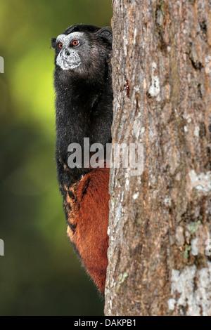Brown-mantled tamarin, Saddleback tamarin, Andean saddle-back tamarin (Saguinus fuscicollis), at a tree trunk, Brazil, - Stock Photo