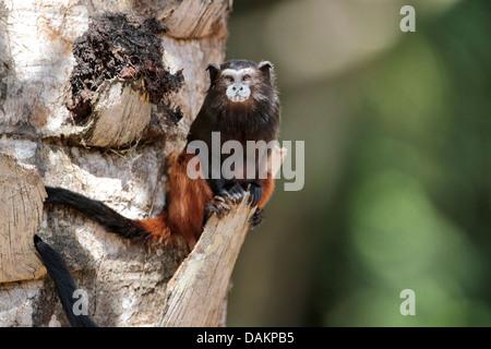 Brown-mantled tamarin, Saddleback tamarin, Andean saddle-back tamarin (Saguinus fuscicollis), at palm tree branch, - Stock Photo
