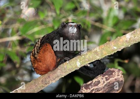 Brown-mantled tamarin, Saddleback tamarin, Andean saddle-back tamarin (Saguinus fuscicollis), sitting on a branch, - Stock Photo
