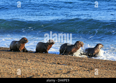 Southern sea lion, South American sea lion, Patagonian sea lion (Otaria flavescens, Otaria byronia), puppies crawling - Stock Photo