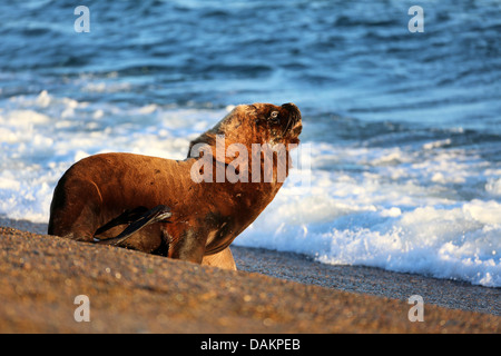 Southern sea lion, South American sea lion, Patagonian sea lion (Otaria flavescens, Otaria byronia), bull walking - Stock Photo