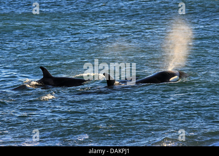orca, great killer whale, grampus (Orcinus orca), two Orcas swimming on the surface of the water for taking breath, - Stock Photo