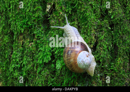 Roman snail, escargot, escargot snail, edible snail, apple snail, grapevine snail, vineyard snail, vine snail (Helix - Stock Photo