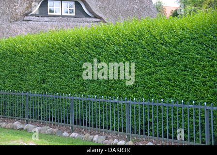 common privet, golden privet, wild privet, prim, European privet (Ligustrum vulgare 'Atrovirens', Ligustrum vulgare - Stock Photo