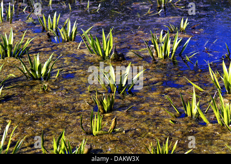 crab's-claw, water-soldier (Stratiotes aloides), on a pond, Germany - Stock Photo