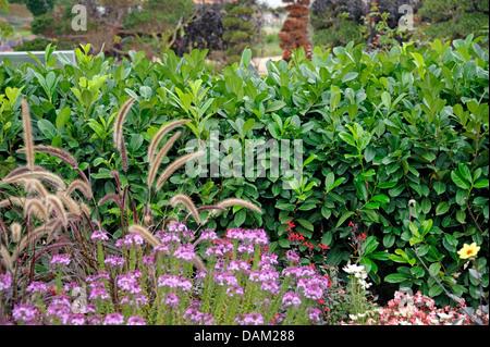 cherry laurel hedge prunus laurocerasus stock photo. Black Bedroom Furniture Sets. Home Design Ideas