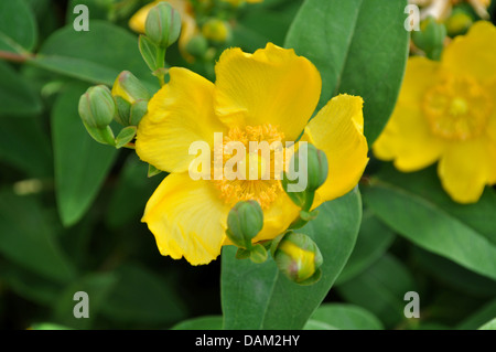 Rose of Sharon Yellow Flower Bush - Stock Photo