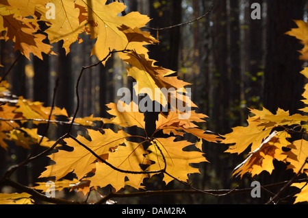 Autumn leaves against the dark forest - Stock Photo