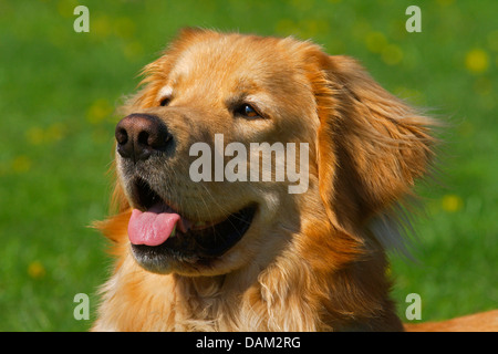 Hovawart (Canis lupus f. familiaris), portrait of a blond male dog, Germany - Stock Photo