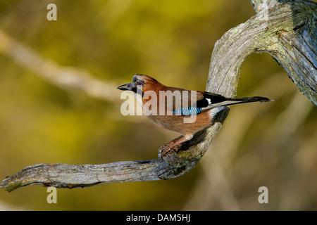 jay (Garrulus glandarius), sitting on a branch, Switzerland, Graubuenden - Stock Photo