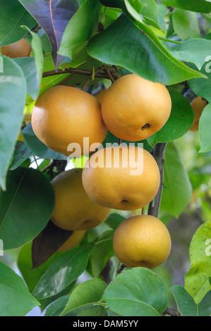 Nashi Pear (Pyrus pyrifolia 'Kumoi', Pyrus pyrifolia Kumoi), cultivar Kumoi - Stock Photo