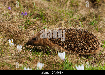 Western hedgehog, European hedgehog (Erinaceus europaeus), in a spring meadow with crocuses, Switzerland, Alpstein, - Stock Photo