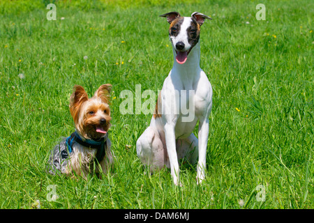 Whippet (Canis lupus f. familiaris), sitting side by side with a Yorkshire Terrier in a meadow, Germany - Stock Photo