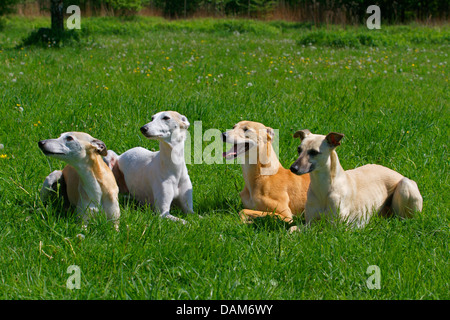 Whippet (Canis lupus f. familiaris), four Whippets lying side by side in a meadow, Germany - Stock Photo