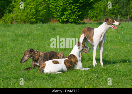 Spanish Greyhound (Canis lupus f. familiaris), three Greyhounds of different age, fur structure and colouration - Stock Photo