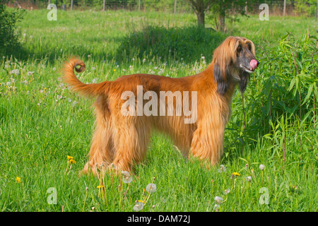 Afghanistan Hound, Afghan Hound (Canis lupus f. familiaris), standing in a meadow licking the mouth waiting for - Stock Photo