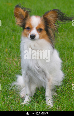 Papillon (Canis lupus f. familiaris), sitting in a meadow, Germany - Stock Photo