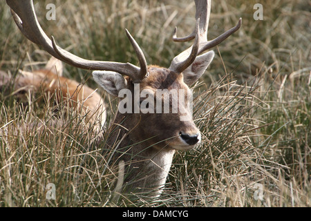 Close-up portrait of a male stag Fallow Deer ( Dama Dama) hiding in the tall grass - Stock Photo