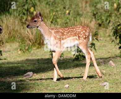 Close-up portrait of a  Fallow Deer doe  fawn (Dama Dama) - Stock Photo