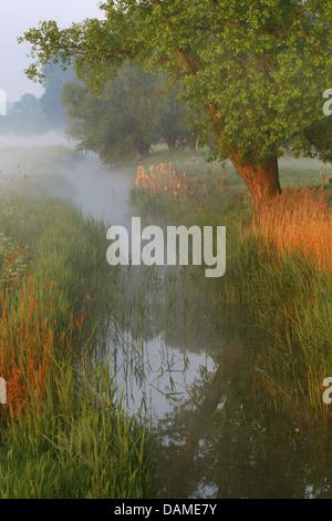 reed grass, common reed (Phragmites communis, Phragmites australis), creek in ground fog, Belgium, Langemeersen - Stock Photo