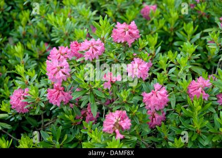 rust-leaved alpine rose (Rhododendron ferrugineum), blooming, Estonia - Stock Photo