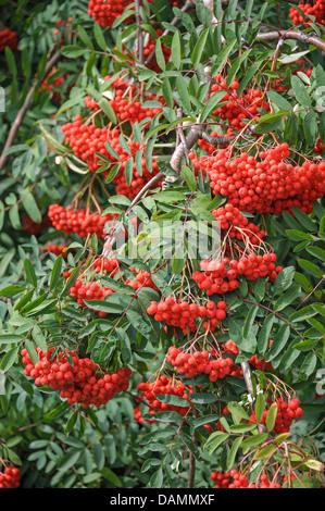 European mountain-ash, rowan tree (Sorbus aucuparia 'Rosina', Sorbus aucuparia Rosina), cultivar Rosina - Stock Photo